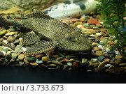 Сом в аквариуме. Стоковое фото, фотограф Анна Омельченко / Фотобанк Лори