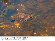 Плавающая черепаха. Стоковое фото, фотограф Татьяна Скрипниченко / Фотобанк Лори