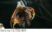 Купить «Рыба-лев в аквариуме», видеоролик № 3735401, снято 10 августа 2012 г. (c) Михаил Коханчиков / Фотобанк Лори