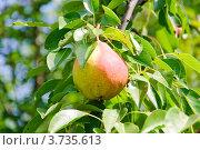 Купить «Груша на ветке», эксклюзивное фото № 3735613, снято 29 июля 2012 г. (c) Алёшина Оксана / Фотобанк Лори