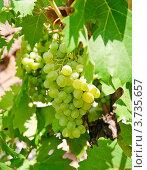 Купить «Виноградная гроздь», эксклюзивное фото № 3735657, снято 29 июля 2012 г. (c) Алёшина Оксана / Фотобанк Лори
