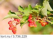 Купить «Ветка калины с ягодами (Viburnum)», эксклюзивное фото № 3736229, снято 29 июля 2012 г. (c) Алёшина Оксана / Фотобанк Лори