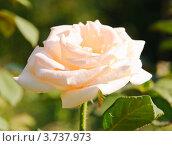 Чайная роза. Стоковое фото, фотограф Алёшина Оксана / Фотобанк Лори