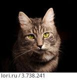 Купить «Портрет серого кота на чёрном фоне», фото № 3738241, снято 1 июня 2007 г. (c) Morgenstjerne / Фотобанк Лори