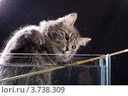 Купить «Серая кошка у аквариума», фото № 3738309, снято 3 марта 2008 г. (c) Morgenstjerne / Фотобанк Лори