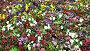 Красочные цветы анютины глазки, видеоролик № 3740321, снято 25 июля 2011 г. (c) Losevsky Pavel / Фотобанк Лори