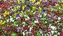 Красочные цветы анютины глазки, видеоролик № 3740329, снято 25 июля 2011 г. (c) Losevsky Pavel / Фотобанк Лори