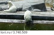 Купить «Белые медведи в зоопарке», видеоролик № 3740509, снято 3 августа 2011 г. (c) Losevsky Pavel / Фотобанк Лори