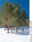 Купить «Зимний пейзаж, сосны в снегу», фото № 3743373, снято 25 марта 2012 г. (c) Максим Пименов / Фотобанк Лори