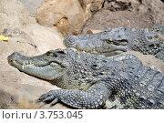 Крокодил. Стоковое фото, фотограф Леонид Чернышов / Фотобанк Лори