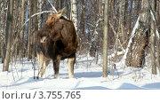 Купить «Лось объедает ветки в зимнем лесу», видеоролик № 3755765, снято 2 сентября 2011 г. (c) Losevsky Pavel / Фотобанк Лори