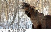 Купить «Лось объедает ветки в зимнем лесу», видеоролик № 3755769, снято 2 сентября 2011 г. (c) Losevsky Pavel / Фотобанк Лори