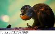 Купить «Обезьянка сидит на ветке и ест арахис», видеоролик № 3757869, снято 10 ноября 2011 г. (c) Losevsky Pavel / Фотобанк Лори