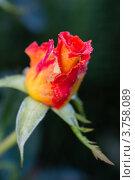 Роза крупным планом. Стоковое фото, фотограф Михеев Павел / Фотобанк Лори