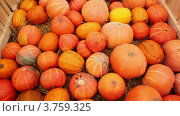 Купить «Спелые оранжевые тыквы», видеоролик № 3759325, снято 28 ноября 2011 г. (c) Losevsky Pavel / Фотобанк Лори