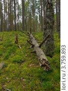Упавшее дерево в лесу. Стоковое фото, фотограф Коршунов Владимир / Фотобанк Лори