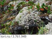Купить «Склон горы, поросший ягелем и баданом», фото № 3761949, снято 11 августа 2008 г. (c) Анна Омельченко / Фотобанк Лори