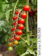 Купить «Помидоры черри, кисть», фото № 3765589, снято 4 августа 2011 г. (c) Короленко Елена / Фотобанк Лори