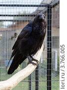 Купить «Черный ворон в клетке смотрит в камеру», фото № 3766005, снято 11 августа 2012 г. (c) Родион Власов / Фотобанк Лори
