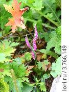 Скрученник китайский — Spiranthes sinensis. Стоковое фото, фотограф Динар / Фотобанк Лори