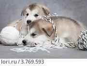 Купить «Два щенка маламута с клубками ниток», фото № 3769593, снято 8 августа 2012 г. (c) Алексей Кузнецов / Фотобанк Лори