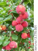 Купить «Плоды яблони сорта Горноалтайское», фото № 3770501, снято 17 августа 2012 г. (c) Александр Романов / Фотобанк Лори