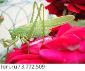 Саранча на розе. Стоковое фото, фотограф Алексей Порубов / Фотобанк Лори