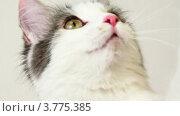 Купить «Кот пытается что-то поймать», видеоролик № 3775385, снято 21 января 2012 г. (c) Losevsky Pavel / Фотобанк Лори