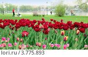Купить «Разноцветные тюльпаны на фоне гуляющих людей в парке», видеоролик № 3775893, снято 27 января 2012 г. (c) Losevsky Pavel / Фотобанк Лори