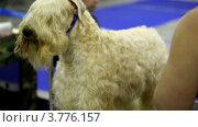 Купить «Девушка расчесывает шерсть ирландского терьера», видеоролик № 3776157, снято 6 февраля 2012 г. (c) Losevsky Pavel / Фотобанк Лори