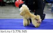 Купить «Пудель», видеоролик № 3776165, снято 16 февраля 2012 г. (c) Losevsky Pavel / Фотобанк Лори