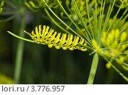 Купить «Гусеница Махаона (Papilio machaon) на зонтике укропа», эксклюзивное фото № 3776957, снято 4 августа 2012 г. (c) Елена Коромыслова / Фотобанк Лори