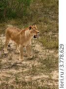 Купить «Лев стоит с открытой пастью (Panthera leo)», эксклюзивное фото № 3778629, снято 12 августа 2012 г. (c) Щеголева Ольга / Фотобанк Лори