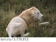 Купить «Белый лев лежит на траве», эксклюзивное фото № 3778813, снято 12 августа 2012 г. (c) Щеголева Ольга / Фотобанк Лори
