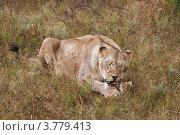 Купить «Львица ест мясо (Panthera leo)», эксклюзивное фото № 3779413, снято 12 августа 2012 г. (c) Щеголева Ольга / Фотобанк Лори