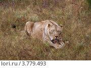 Купить «Львица грызет кость», эксклюзивное фото № 3779493, снято 12 августа 2012 г. (c) Щеголева Ольга / Фотобанк Лори