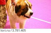 Купить «Собака породы московская сторожевая участвует в выставке», видеоролик № 3781405, снято 30 июля 2012 г. (c) Losevsky Pavel / Фотобанк Лори