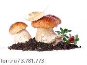 Купить «Белые грибы боровики на белом фоне», фото № 3781773, снято 26 августа 2012 г. (c) Лисовская Наталья / Фотобанк Лори