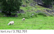 Купить «Две овцы пасутся на горном склоне», видеоролик № 3782701, снято 7 июня 2012 г. (c) Losevsky Pavel / Фотобанк Лори