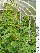Выращивание огурцов в парнике. Стоковое фото, фотограф lana1501 / Фотобанк Лори