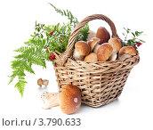 Купить «Белые грибы боровики в корзине на белом фоне», фото № 3790633, снято 28 августа 2012 г. (c) Лисовская Наталья / Фотобанк Лори