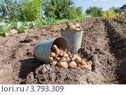 Купить «Уборка урожая картофеля», фото № 3793309, снято 22 августа 2012 г. (c) FotograFF / Фотобанк Лори