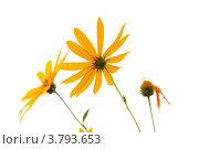 Купить «Цветы топинамбура», эксклюзивное фото № 3793653, снято 28 июля 2012 г. (c) Юрий Морозов / Фотобанк Лори