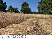 Купить «Уборка ржи», фото № 3800613, снято 17 июля 2010 г. (c) Сергей Ксейдор / Фотобанк Лори