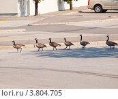 Гуси. Дикие птицы в городе Торонто. Канада. (2012 год). Стоковое фото, фотограф Игорь Ворончихин / Фотобанк Лори