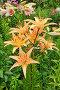 Садовые цветы лилии, эксклюзивное фото № 3804969, снято 16 июля 2012 г. (c) Юрий Морозов / Фотобанк Лори