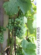 Растущий виноград. Стоковое фото, фотограф Чихний Анастасия / Фотобанк Лори