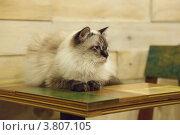 Купить «Длинношерстная кошка окраса колор-пойнт с голубыми глазами лежит на столике», эксклюзивное фото № 3807105, снято 10 августа 2012 г. (c) Ольга Липунова / Фотобанк Лори