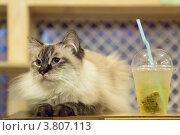 Купить «Длинношерстная кошка окраса колор-пойнт с голубыми глазами лежит на столике рядом со стаканом зеленого чая», эксклюзивное фото № 3807113, снято 10 августа 2012 г. (c) Ольга Липунова / Фотобанк Лори