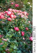 Куст дикой розы. Стоковое фото, фотограф Татьяна Макотра / Фотобанк Лори